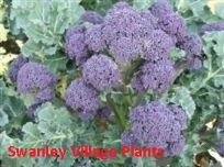 Broccoli Purple Sprouting Mixed